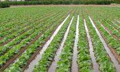 Autoridades federales hacen un revoltijo de información: agrónomos