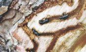 Temporada de frío empeorará problemática del gusano descortezador en la Malinche: Teolocholquences a. c.